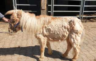 pony-klein-mogli-krank Tierschutzhof Wardenburg
