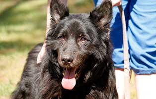 schaeferhund-charly-alt-portrait Tierschutzliga-Dorf