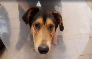 update-hund-hugo-augenoperation-erfolgreich Boxerwelpe Jony (WH051/19) braucht dringend ein neues Zuhause