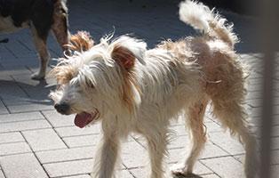 welpe-SH237-19-maennlich-tierschutzliga-dorf 13 Hunde aus dem Tierschutzliga-Dorf suchen Start-ins-Leben Paten