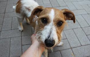 welpe-SH238-19-maennlich-tierschutzliga-dorf 13 Hunde aus dem Tierschutzliga-Dorf suchen Start-ins-Leben Paten