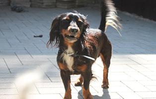 welpe-SH240-19-weiblich-tierschutzliga-dorf 13 Hunde aus dem Tierschutzliga-Dorf suchen Start-ins-Leben Paten