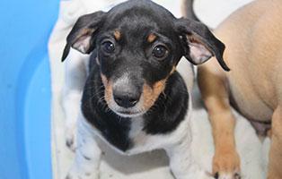 welpe-SH243-19-maennlich-tierschutzliga-dorf 13 Hunde aus dem Tierschutzliga-Dorf suchen Start-ins-Leben Paten