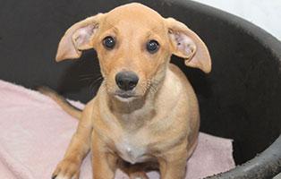 welpe-SH245-19-maennlich-tierschutzliga-dorf 64 Hunde aus Beschlagnahmung suchen Notfallpaten - Teil 4