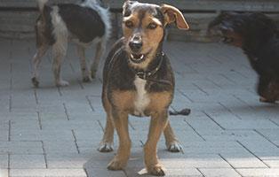 welpe-SH246-19-maennlich-tierschutzliga-dorf 13 Hunde aus dem Tierschutzliga-Dorf suchen Start-ins-Leben Paten