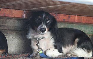 welpe-SH247-19-weiblich-tierschutzliga-dorf 13 Hunde aus dem Tierschutzliga-Dorf suchen Start-ins-Leben Paten