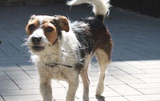 welpe-SH249-19-maennlich-tierschutzliga-dorf 13 Hunde aus dem Tierschutzliga-Dorf suchen Start-ins-Leben Paten