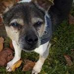 hund-benny-jack-russel-mix-portrait-150x150 Tapferer kleiner Benny