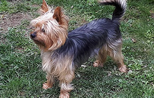 hund-yorkshire-terrier-cleo-wiese Elliot - alter Tierschutzhund möchte sich verabschieden und bedanken
