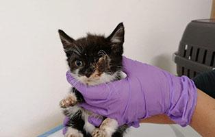 katzenbaby-haengendes-auge-behandlung-arzt 6 Katzenbabys aus dem Tierschutzliga-Dorf suchen Start-ins-Leben Paten