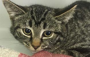 katzenkind-bk171-19-bueckeburg 4 Katzenbabys suchen einen Start-ins-Leben Paten