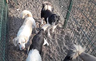 animal-hoarding-hilfe-opfer Krümel - Chihuahua-Zwergpinscher-Mix