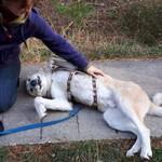 hund-fuchur-notfall-SH192-19-liegt-150x150 Schäferhund-Mix Fuchur
