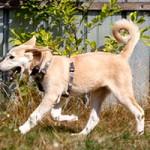 hund-fuchur-notfall-SH192-19-rennt-150x150 Schäferhund-Mix Fuchur
