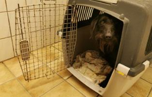 hund-trojka-becescsaba-bein-amputation-ankunft Hund Trojka aus Becescsaba sucht Aufnahmepaten und benötigt OP