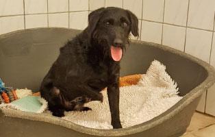 hund-trojka-becescsaba-bein-amputation-koerbchen Hund Trojka aus Becescsaba sucht Aufnahmepaten und benötigt OP
