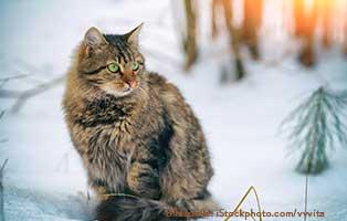 katzen-ratgeber-schnee Die Fellfarbe der Katze