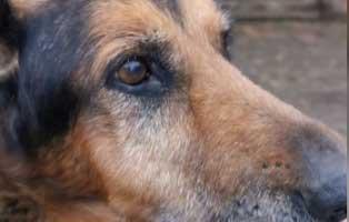 schaeferhund-bezar-patenschaft-gesicht Akute Notfellchen