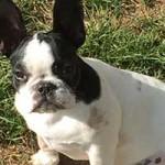 franzoesische-bulldogge-penny-portrait-1-150x150 Die kleine französische Bulldogge Penny muss untersucht werden