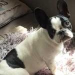 franzoesische-bulldogge-penny-schaut-150x150 Die kleine französische Bulldogge Penny muss untersucht werden