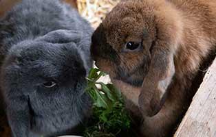 kaninchen-ninchen-elli-gluecklich-vermittelt Kaninchentrio Elli, Ernie und Ninchen