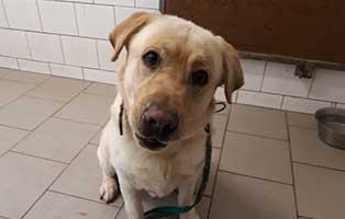 beschlagnahmung-labrador-murmel-schaut Jobs als Tierpfleger, Tiermedizinische Fachangestellte, Tierarzthelfer