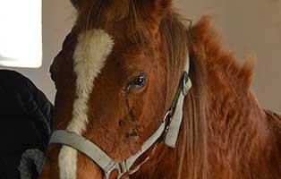 pferd-sylvester-periodische-augenentzündung-gesicht Der Tierschutzhof Wardenburg sucht Tierpfleger/in