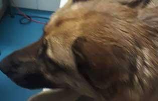 schaeferhuendin-johanna-bekescsaba-kopf Tag der offenen Tür 2019 im Tierschutzliga-Dorf