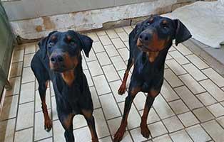 hund-dobermann-weibchen-beide Unterwegs in der Welt der Wildtierbabys
