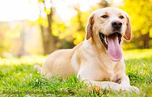 ratgeber-hunde-labradore Täglich frisches Wasser ist ein Muss