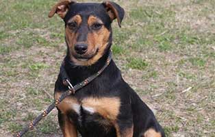 huendin-henna-bekescsaba-aufnahmepatenschaft Vier Hunde aus dem Tierheim Békéscsaba suchen Aufnahmepaten