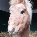 ponny-mogli-zahnbehandlung-gesicht-150x150 Mogli - Shetlandpony (TP002/19)