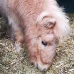 ponny-mogli-zahnbehandlung-portrait-150x150 Mogli - Shetlandpony (TP002/19)