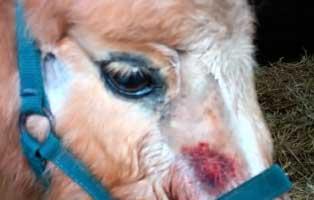 ponny-mogli-zahnbehandlung-wunde Notfellchen-Fonds