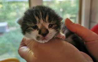 katzenbaby-096-20-weiblich Messihaushalt – vierzehn kranke Katzen gerettet – Tierschutz-Alltag