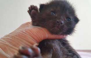 katzenbaby-HK082-20-maennlich-start-ins-leben-patenschaft Vier Katzenbabys samt Mutter aus Thüringen suchen Start-ins-Leben Paten