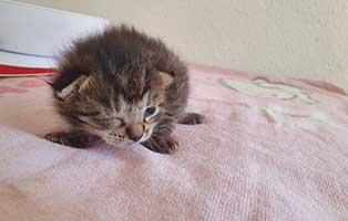 katzenbaby-HK084-20-weiblich-start-ins-leben-patenschaft Vier Katzenbabys samt Mutter aus Thüringen suchen Start-ins-Leben Paten