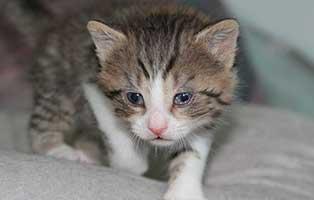 katzenbaby-BK-080-20-männlich-start-ins-leben Vier weitere Kitten aus dem Tierheim Bückeburg suchen Start-ins-Leben Paten