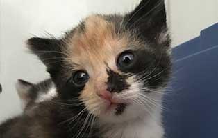 katzenbaby-bk091-20-bueckeburg-start-ins-leben Drei Kitten aus dem Tierheim Bückeburg suchen Start-ins-Leben Paten