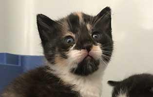 katzenbaby-bk092-20-bueckeburg-start-ins-leben Drei Kitten aus dem Tierheim Bückeburg suchen Start-ins-Leben Paten