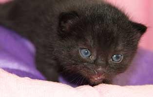 katzenbaby-maennlich-bk-069-start-ins-leben Vier Katzenbabys aus dem Tierheim Bückeburg suchen Start-ins-Leben Paten