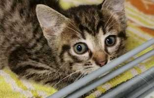 katzenbaby-sk286-20-maennlich-start-ins-leben 14 Kitten aus dem Tierschutzliga-Dorf suchen Start-ins-Leben Paten