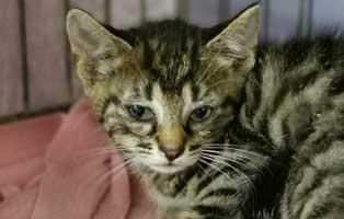 katzenbaby-sk302-20-maennlich-start-ins-leben 14 Kitten aus dem Tierschutzliga-Dorf suchen Start-ins-Leben Paten