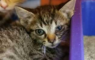 katzenbaby-sk303-20-weiblich-start-ins-leben 14 Kitten aus dem Tierschutzliga-Dorf suchen Start-ins-Leben Paten