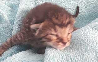 katzenbaby-weiblich-hk-104-20-start-ins-leben Drei Katzenbabys aus der Katzenstation Thüringen suchen Start-ins-Leben Paten