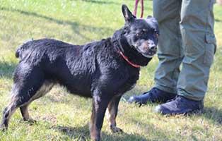 huendin-schwarz-polen-4Jahre Acht Hunde aus Polen suchen Aufnahmepaten