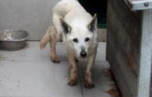huendin-weiss-polen-10Jahre Acht Hunde aus Polen suchen Aufnahmepaten