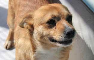ruede-beige-polen-2-3Jahre Acht Hunde aus Polen suchen Aufnahmepaten