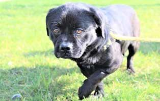 ruede-schwarz-polen-2Jahre Acht Hunde aus Polen suchen Aufnahmepaten