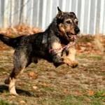 schaeferhund-schnauzer-mix-pepe-springt-150x150 Schäferhund-Schnauzer-Mix Pepe SH212/18